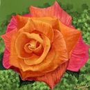 orange-and-pink-rose