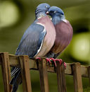 love-birds