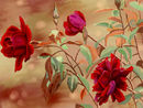 red-and-beige-rose-com